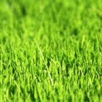 Газонная трава фото