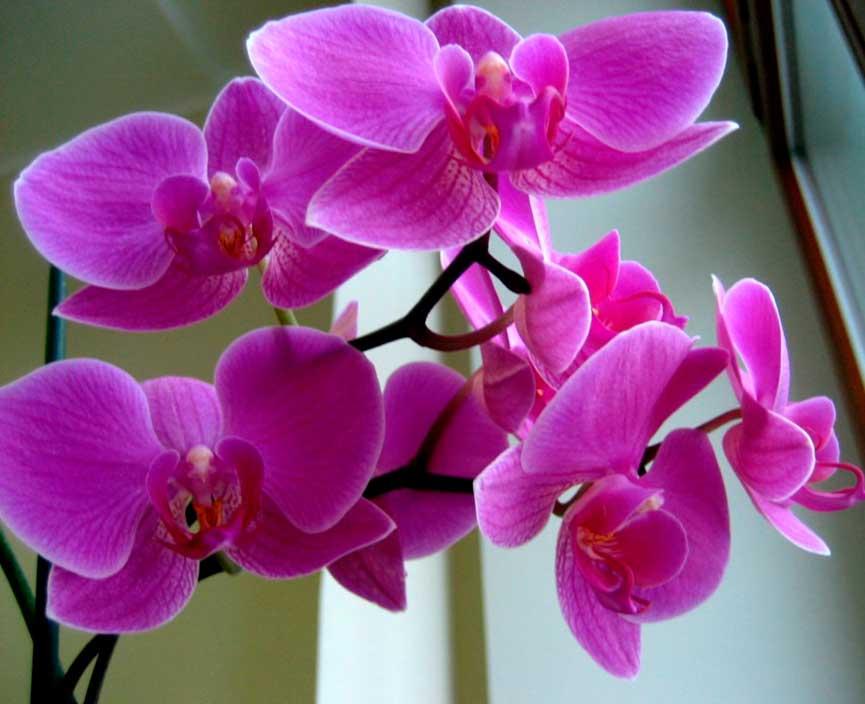 orhideya-kartinka