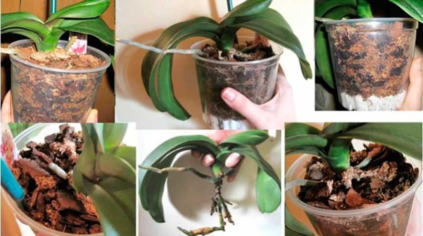 Как правильно сажать орхидею в горшок 179