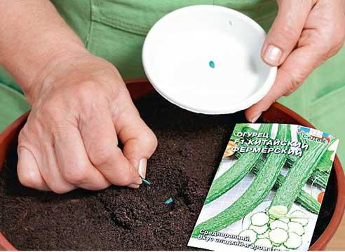 Посадка семян огурцов в грунт