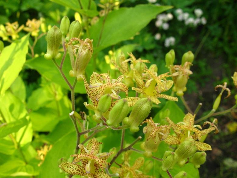 Садовая орхидея трициртис фото