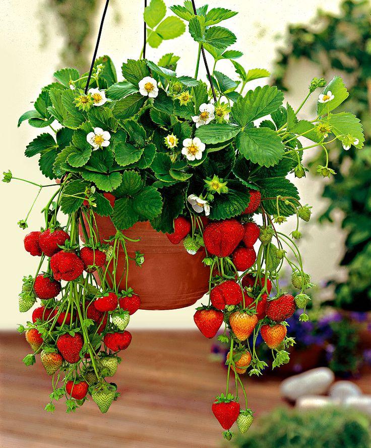 Как вырастить клубнику на балконе фото