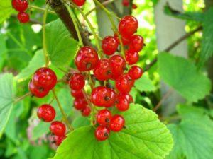 выращивание красной смородины фото