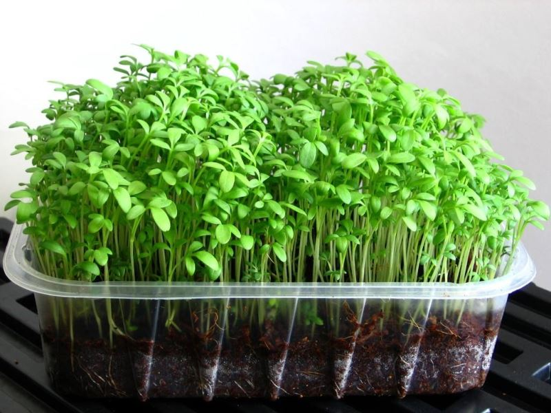 Кресс салат в домашних условиях фото