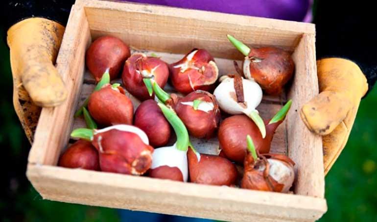 луковички-тюльпанов-фото