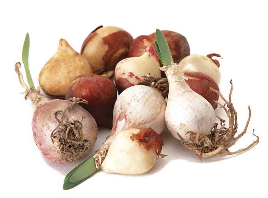 Сколько хранятся луковицы тюльпанов
