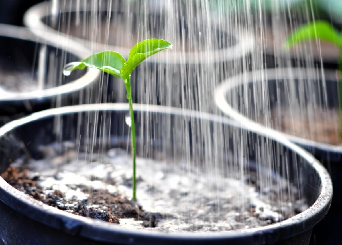 Полив рассады методом опрыскивания перец болгарский выращивание в открытом грунте фото и видео