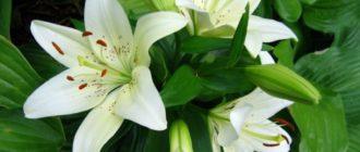 Правила выращивания и ухода за белой лилией фото