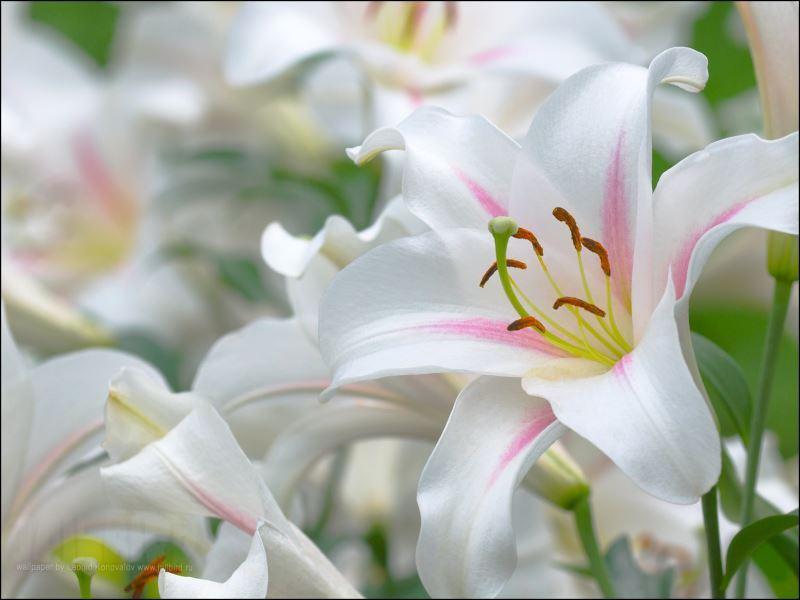 Фотография белой лилии