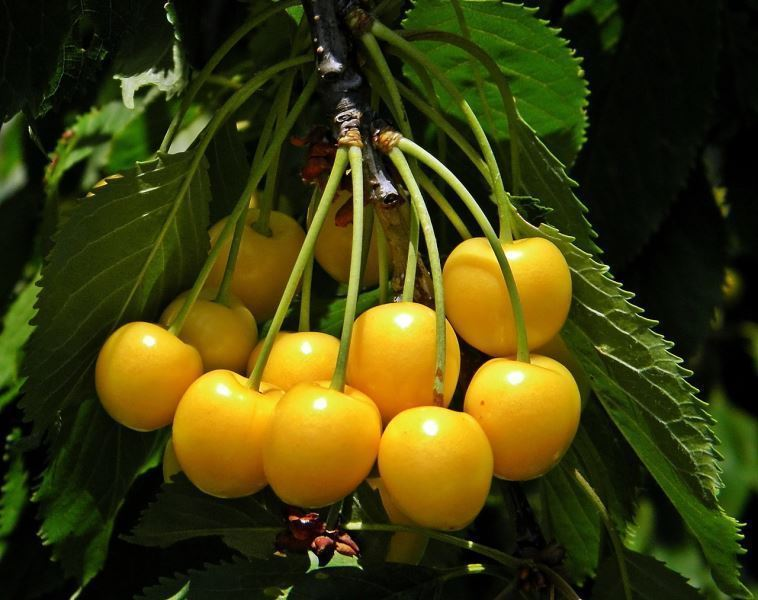 Изображение желтой черешни