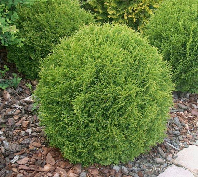 Карликовые растения для сада круглый куст фото