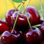 Выбираем саженцы правильно Любой агроном желает вырастить в своём плодово-ягодном саду сочную и вкусную черешню, которую приятно было бы подать на стол своим близким и друзьям. Для того чтобы урожай был хорошим, необходимо всерьёз подойти к выбору правильного саженца черешни, поскольку не все продающиеся сорта пригодны для посадки в тех или иных климатических поясах. Большинство специализированных питомников занимаются выращиванием и разведением новых сортов черешен, которые будут пригодны для посадки при любых климатических условиях, они имеют высокий штамб и поэтому они пригодны только для выращивания в промышленных целях. Для того чтобы вырастить черешню на даче, требуются саженцы немного иные.В разных регионах саженцы черешни ведут себя по-разному после посадки. Как вырастить черешню из саженцев фото Например, в южных регионах саженцы могут достигать до 2 метров. На юге саженцы черешни успевают созреть и уже быть готовыми к зимовке. Если такие саженцы сажать в другом климате, то есть вероятность что они затянутся в росте и не будут готовы зимовать. Что в итоге приведёт к замерзанию и засыханию по весне. Для средней полосы больше подходят саженцы с высотой штамба до 20–25 см или выращивать черешню в кустовой форме. В климатических условиях средней полосы хорошо растут северные сорта черешен, которые были привиты на вишне. Хороший урожай может получиться если черешня была привита на крону вишни антипки, но это, возможно, только с зимостойкими формами. Покупать саженцы черешни лучше всего с осени или ранней весной. При покупке первым делом следует обращать внимание на корневую систему саженца, корни должны быть крепкими и мощными, срез должен быть светло-кремового цвета. Нельзя допустить чтобы корни были подсушены и на ветках оставались листья, так как это может привести к обезвоживанию саженца и после посадке саженец будет болеть и плохо приживаться. Посадка черешни Выбираем место правильно При выборе места для посадки саженца черешни нужно учесть следующее: Даже 