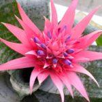 как-цветет-эхмея-полосатая-фото