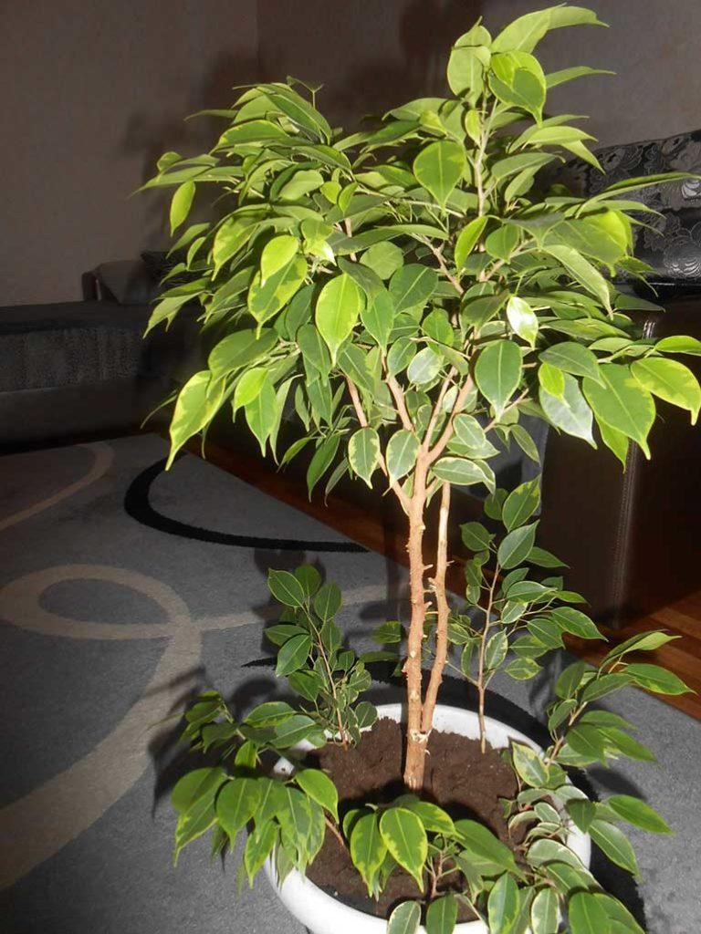 Фикус бенджамина уход в домашних условиях почему опадают листья