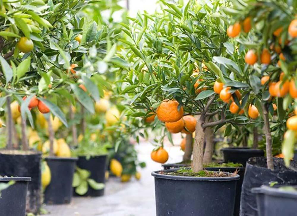 Как быстро и правильно прорастить косточку мандарина в домашних условиях?