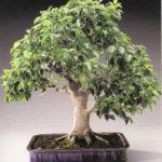 bonsay-iz-fikusa-Bendzhamina-v-domashnih-usloviyah