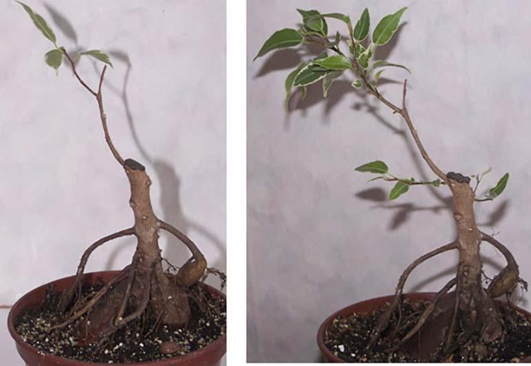 бонсай-корнями-наружу