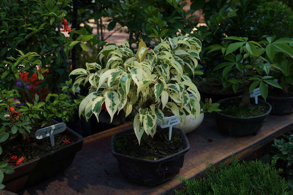 Ficus-bendzhamina-v-gorshke
