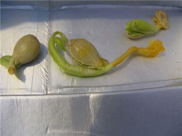 Как прорастить мандарин из косточки в домашних условиях