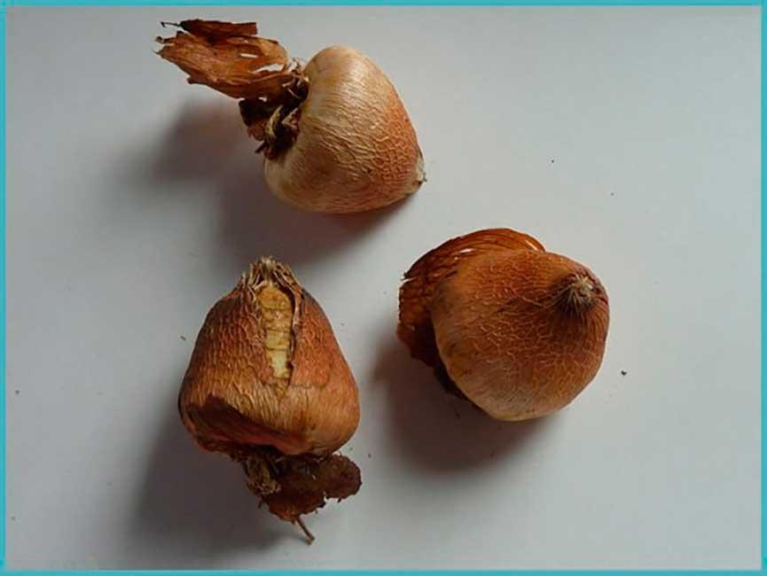 acidanthera-lukovici-foto