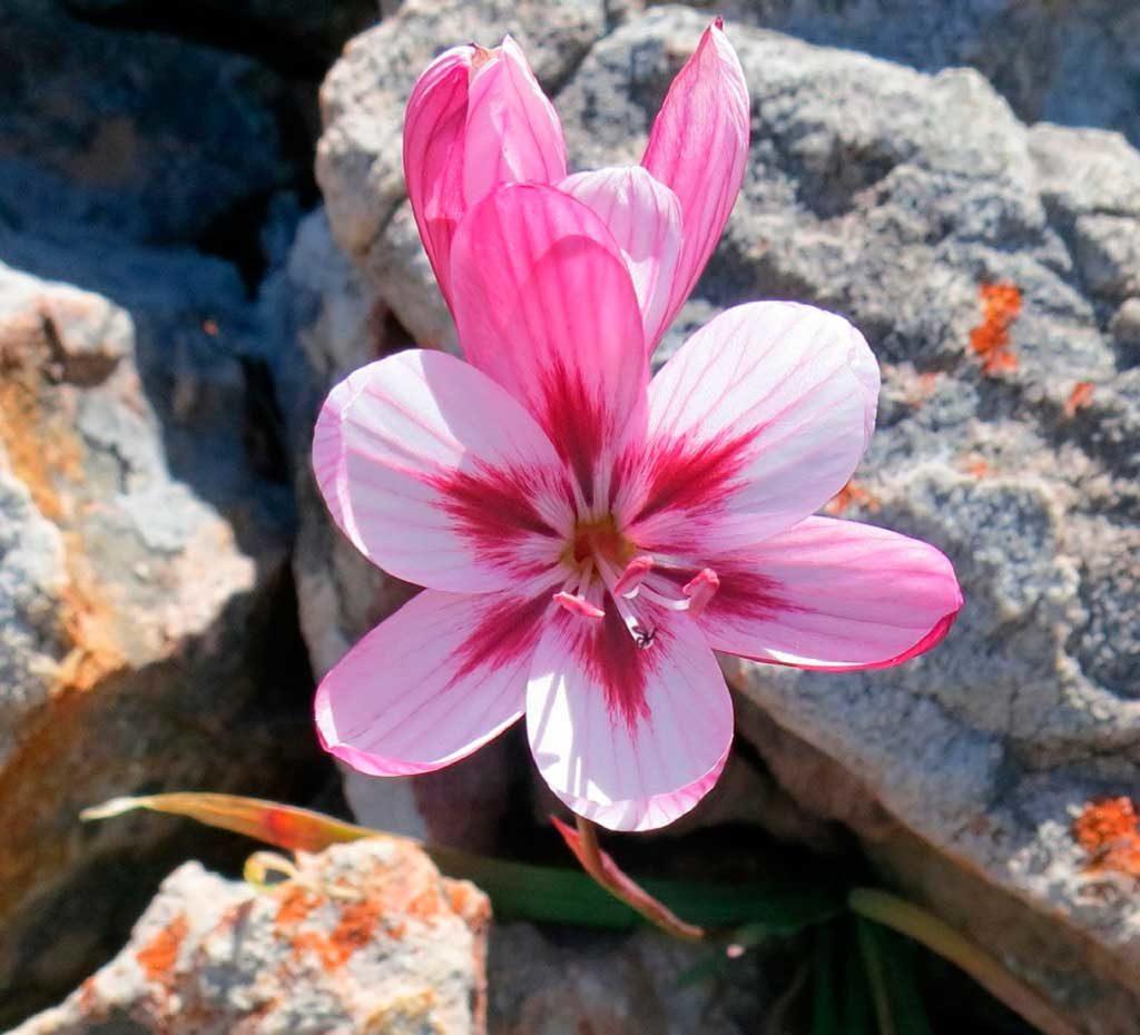acidanthera-rozovo-belaya-foto