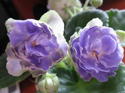 цветение-фиалки-аквамарин-фото