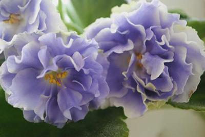 цветок-фиалки-аквамарин-фото