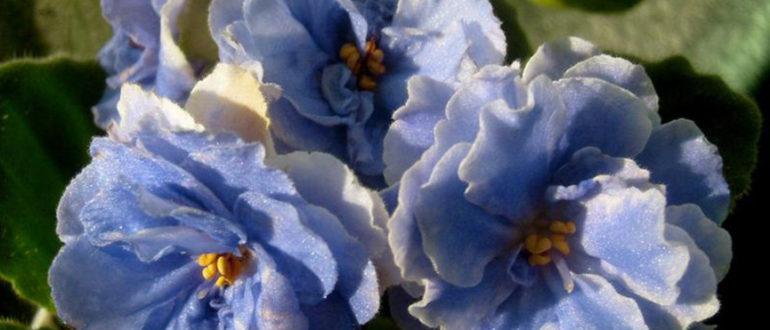 цветы-фиалки-аквамарин-фото
