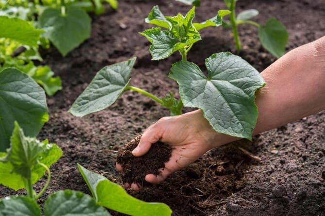 Фото подкормки компостом