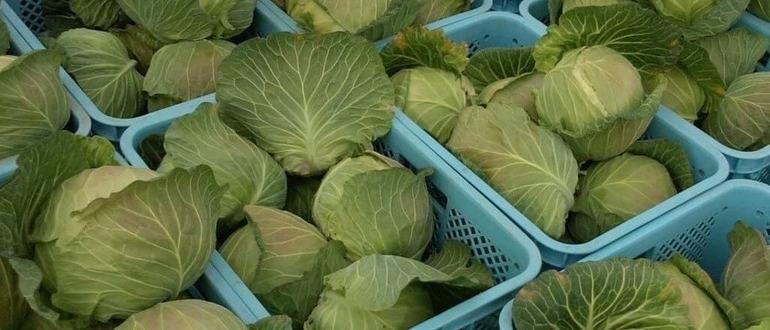 Фото урожая капусты_главная